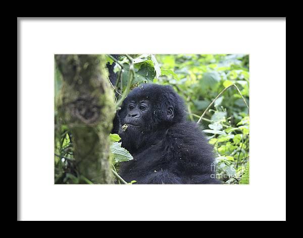 Mountain Gorilla Framed Print featuring the photograph Mountain Gorillas by Ruth Hofshi