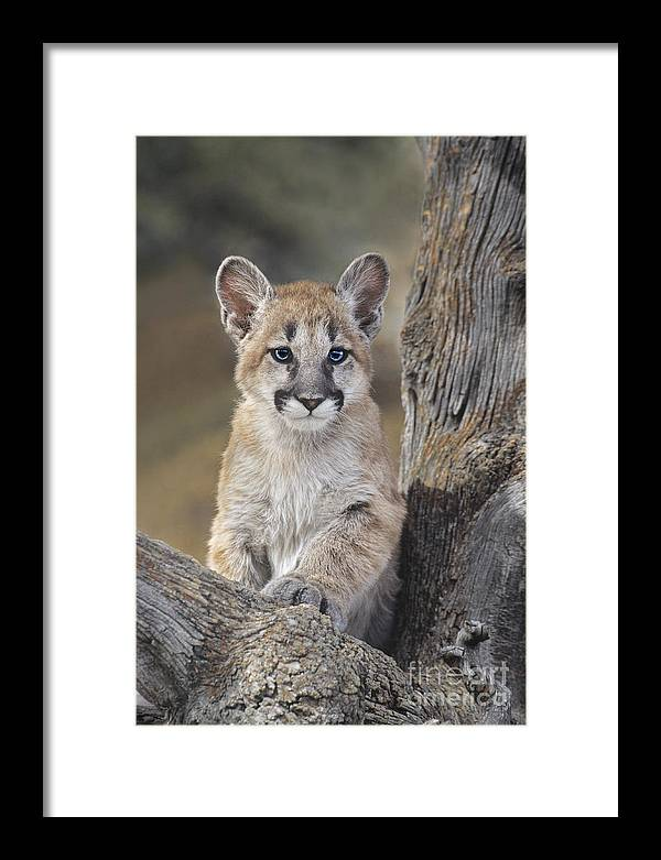 Mountain Lion Framed Print featuring the photograph Mountain Lion Cub by Dave Welling