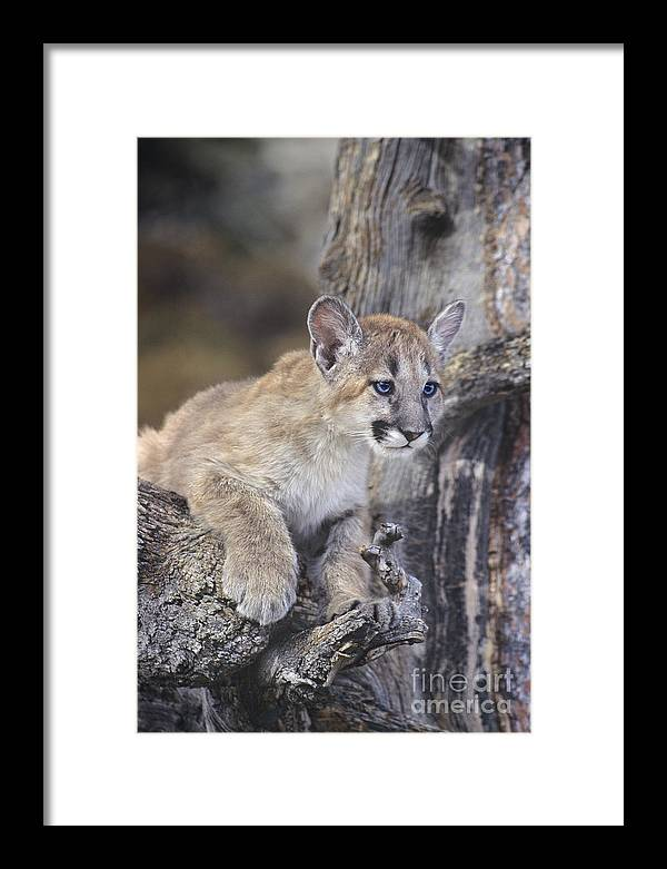 Mountain Lion Framed Print featuring the photograph Mountain Lion Cub On Tree Branch by Dave Welling