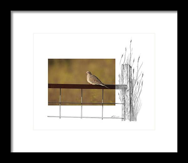 Mourning Dove Framed Print featuring the photograph Mourning Dove by Andrew McInnes