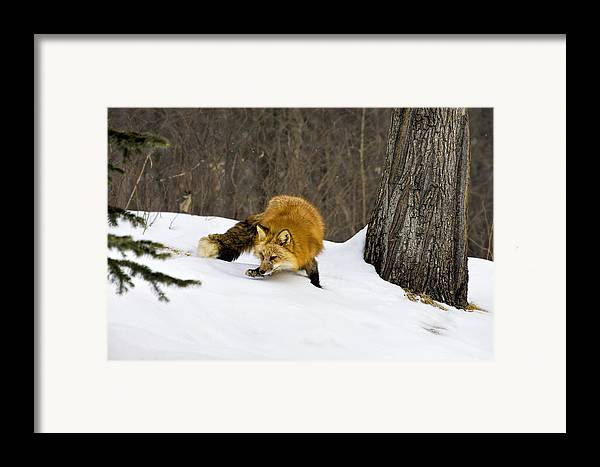Fox Framed Print featuring the photograph Mousing by Jack Milchanowski