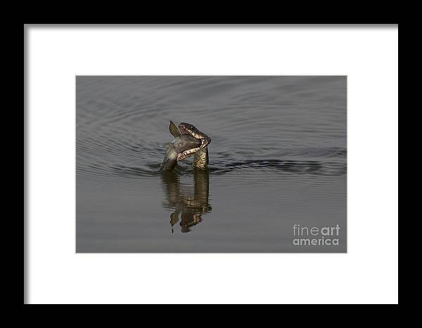 Fish Framed Print featuring the photograph Mouthful by Eunice Gibb