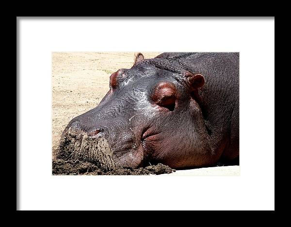 Colorado Zoo Framed Print featuring the photograph Muddy-faced Hippo by Marilyn Burton