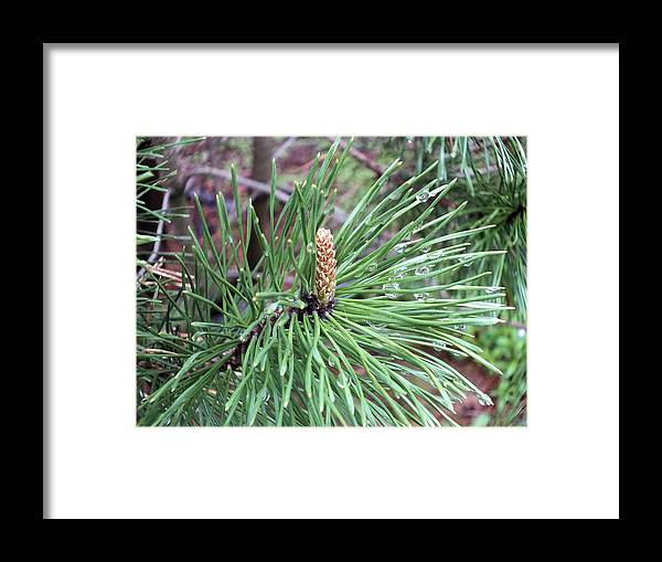 New England Framed Print featuring the photograph Mugo Spring by Gene Cyr
