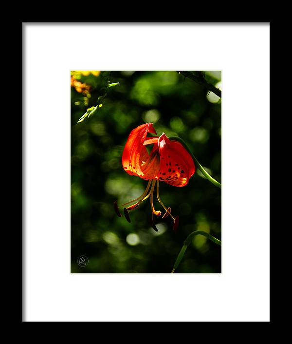Leopard Lily Framed Print featuring the photograph Muir Woods Leopard Lily 001 by Lance Vaughn