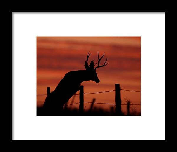 Mule Framed Print featuring the photograph Mule Deer Buck Jumping Fence At Sunset by Gary Langley