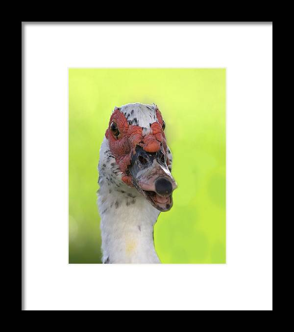 Duck Framed Print featuring the photograph Muscovy Duck by Rudy Umans