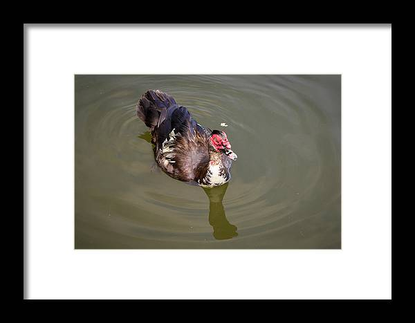 2014 Framed Print featuring the photograph Muscovy Duck by Terry Thomas