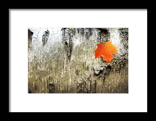 Birch Tree Red Orange Maple Leaf Fall Autumn Framed Print featuring the photograph Muskoka Tales 9 by Daniel Matei