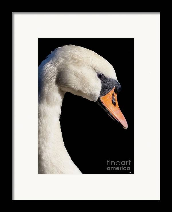Swans Framed Print featuring the photograph Mute Swan by Wobblymol Davis