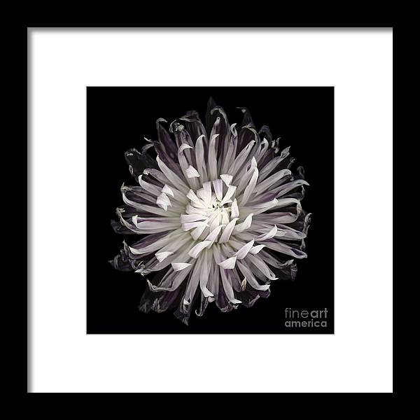 Beauty In Nature Framed Print featuring the photograph Muted Dahlia by Oscar Gutierrez