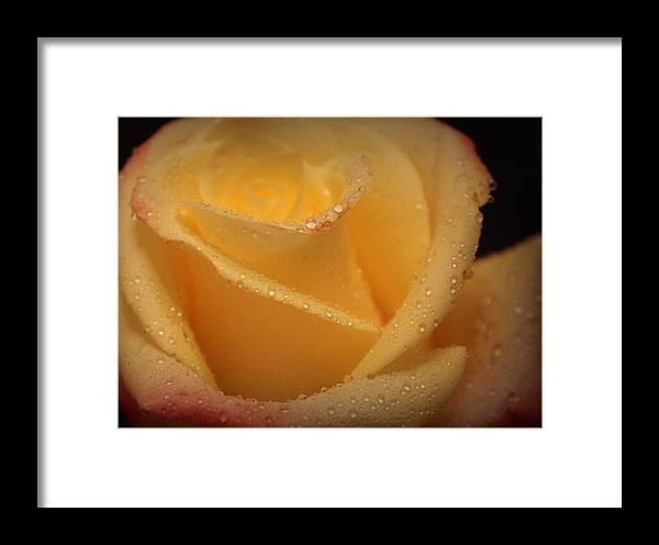 Roses Framed Print featuring the photograph My Birthday Rose by The Art Of Marilyn Ridoutt-Greene