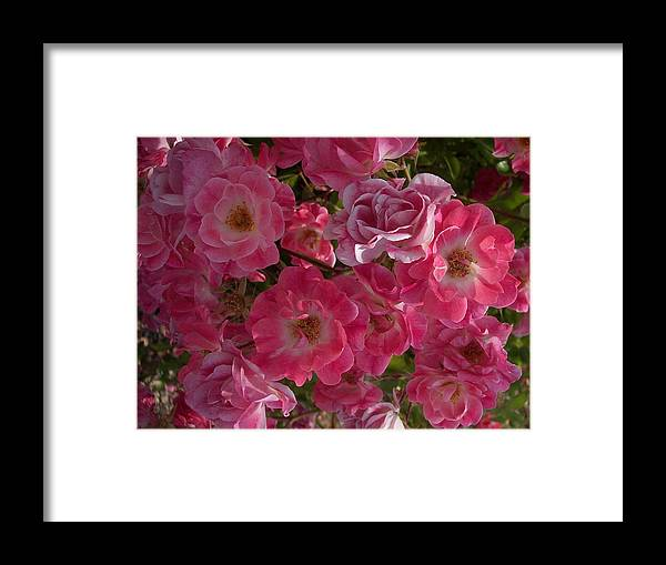Pink Roses Framed Print featuring the photograph My Cup Runneth Over by Georgia Hamlin
