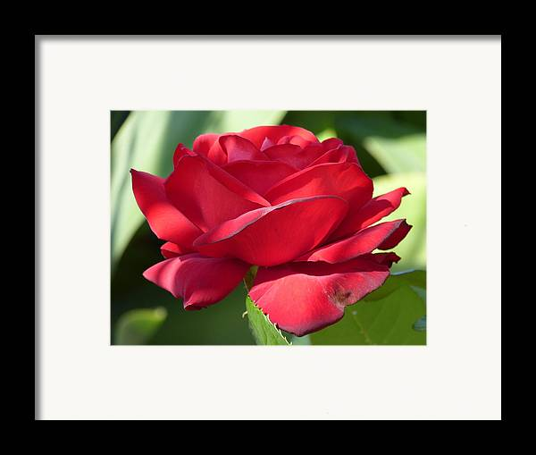 Flowers Framed Print featuring the photograph My First Rose by Janina Suuronen