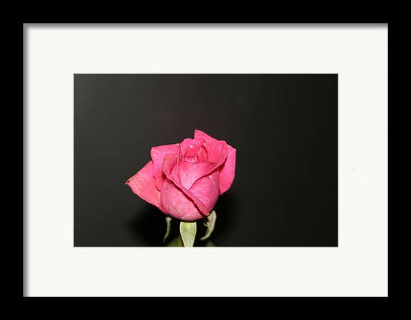 Rose Framed Print featuring the photograph My Rose by Dervent Wiltshire