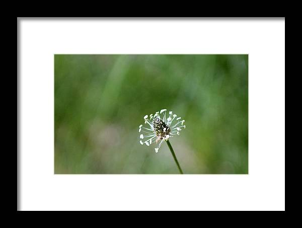 Dandelion Framed Print featuring the photograph Naked Dandelion by Lori Rossi