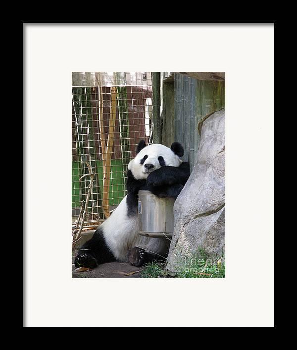 Giant Panda Framed Print featuring the photograph Nap Time by Ausra Huntington nee Paulauskaite