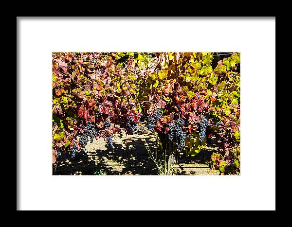 Doves Framed Print featuring the photograph Napa Fall Grapes by Brian Williamson