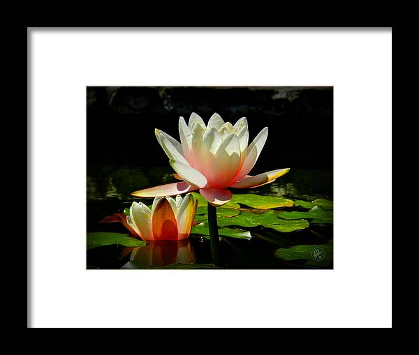 Water Lilies Framed Print featuring the photograph Napa Water Lilies 003 by Lance Vaughn
