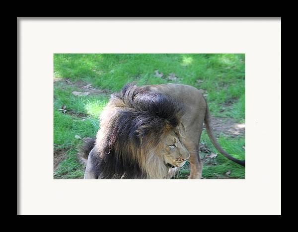 National Framed Print featuring the photograph National Zoo - Lion - 01132 by DC Photographer