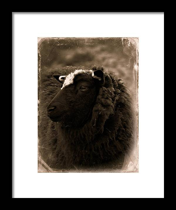 Sheep Framed Print featuring the photograph Nellah The Shetland Sheep by Catherine Ali