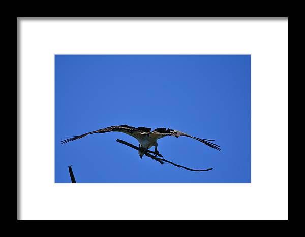 Osprey Framed Print featuring the photograph Nest Reinforcements by Dennis Blum