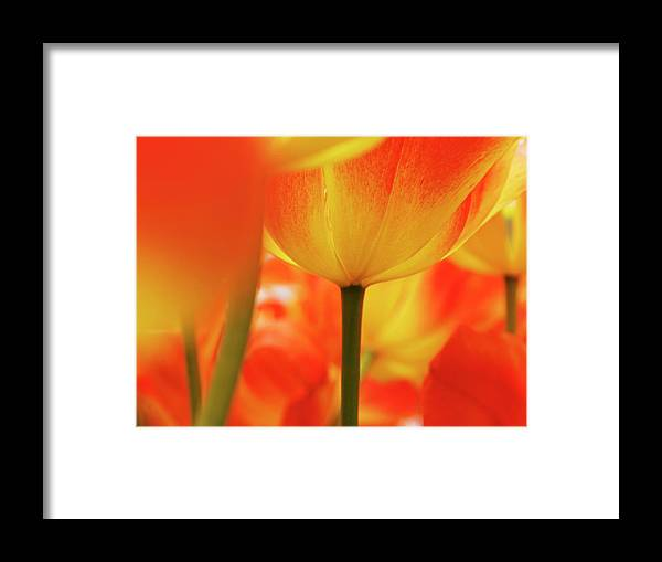 Benelux Framed Print featuring the photograph Netherlands, Macro Of Colorful Tulip by Terry Eggers