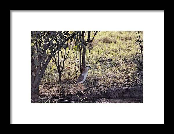 Night Heron Framed Print featuring the photograph Night Heron-Top-End Australia by Douglas Barnard