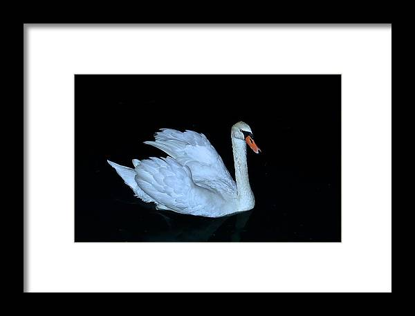 Swan Framed Print featuring the photograph Nighttime Swim by Rita Mueller
