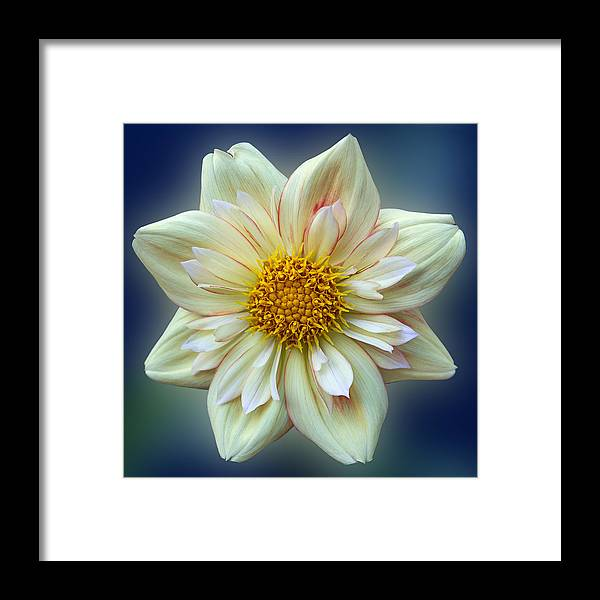 Flower Framed Print featuring the photograph Dahlia - E Z Duzzit by Patti Deters
