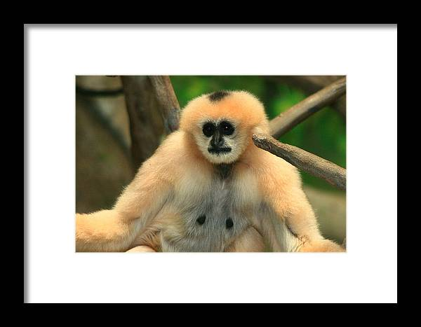 Animals Framed Print featuring the photograph No Monkey Business by Raymond Mays