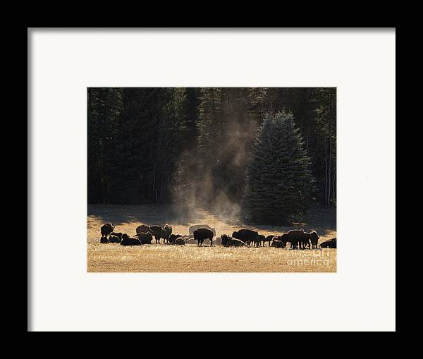 Landscape Framed Print featuring the photograph North Rim Bison Of The Grand Canyon by Alex Cassels