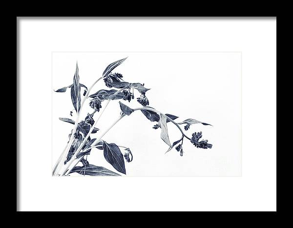 Mertensia Paniculata Framed Print featuring the photograph Northern Bluebells II by Priska Wettstein
