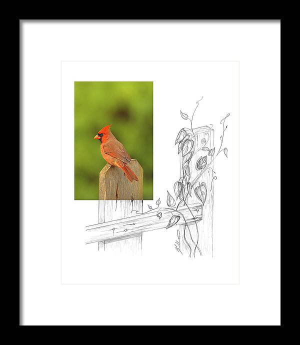 Northern Cardinal Framed Print featuring the photograph Northern Cardinal by Andrew McInnes