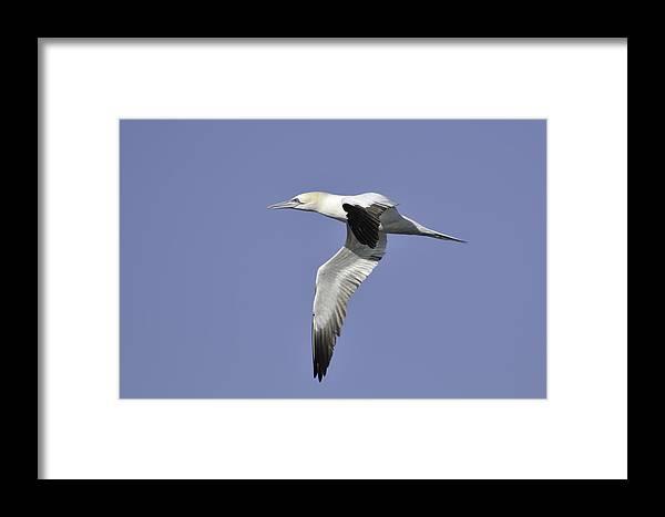 Gannet Framed Print featuring the photograph Northern Gannet In Flight by Bradford Martin