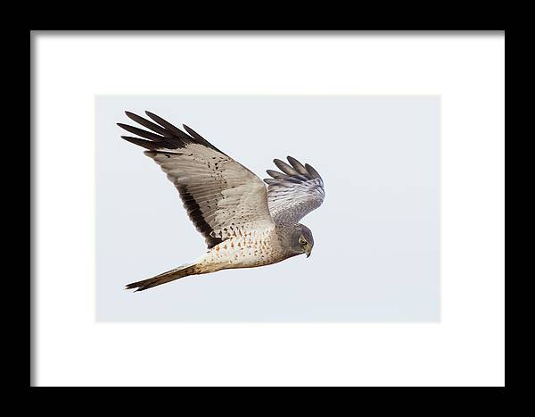 Circus Cyaneus Framed Print featuring the photograph Northern Harrier Hawk Hunting by Ken Archer