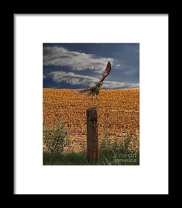 Northern Harrier Framed Print featuring the photograph Northern Harrier by Jon Burch Photography