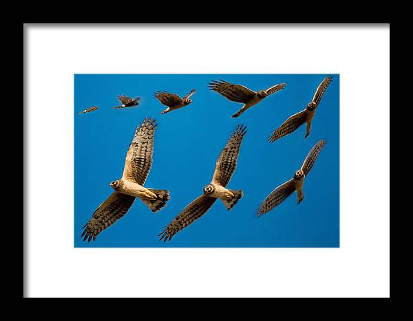 Framed Print featuring the photograph Northern Harrier Sequence by Lee Bertrand