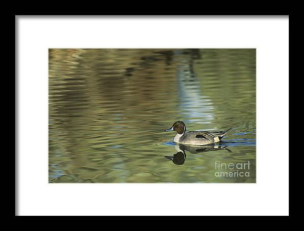 North America Framed Print featuring the photograph Northern Pintail In A Quiet Pond California Wildlife by Dave Welling
