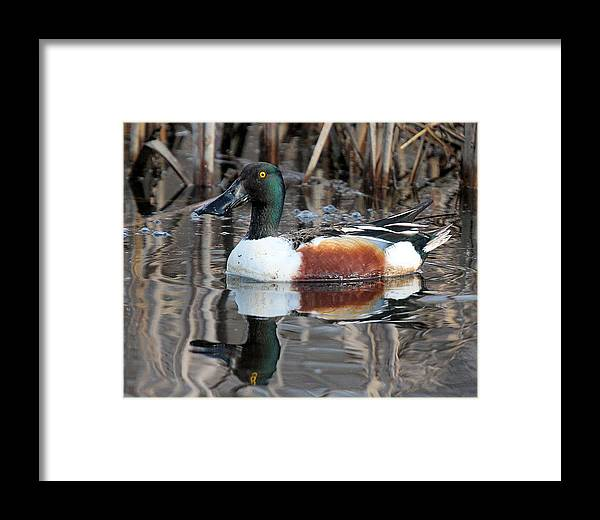 Northern Shoveler Duck Framed Print featuring the photograph Northern Shoveler Drake by John Dart