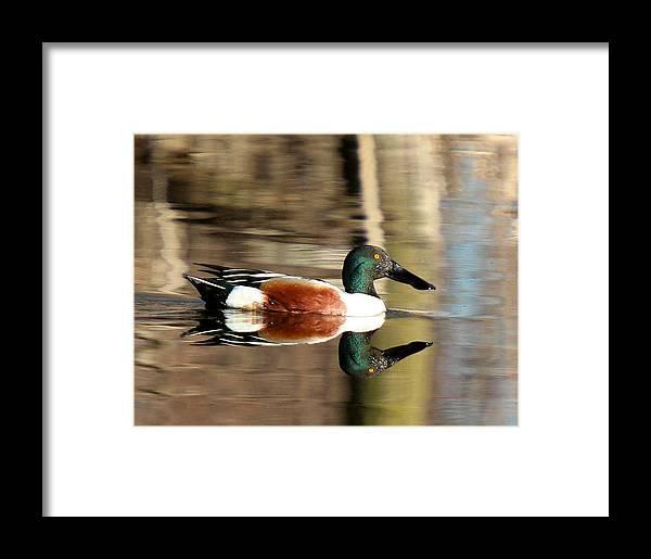 Northern Shoveler Duck Framed Print featuring the photograph Northern Shoveler Drake Reflection by John Dart