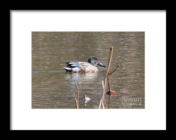 Northern Shoveler Duck Prints Framed Print featuring the photograph Northern Shoveler Duck by Ruth Housley