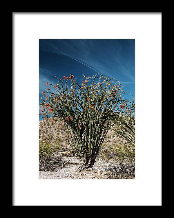Sonoran Desert Framed Print featuring the photograph Ocotillo (fouquieria Splendens) In Flower by Bob Gibbons/science Photo Library