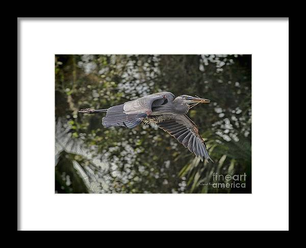 Heron Framed Print featuring the photograph Off To The Nest 2012 by Deborah Benoit