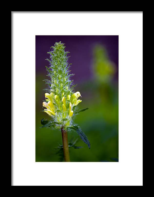 Wildflower Framed Print featuring the photograph Oh So Soft by Eric Rundle