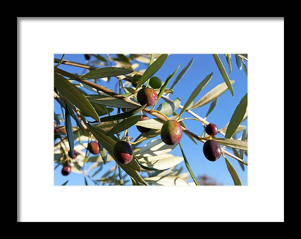 Agricultural Framed Print featuring the photograph Olives (olea Europaea) On A Tree by Dr Juerg Alean/science Photo Library
