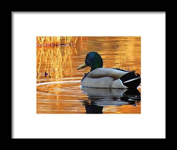 Mallard Framed Print featuring the photograph On Golden Pond by Dianne Cowen