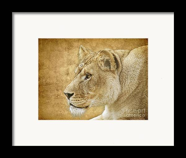 Lion Framed Print featuring the photograph On Target by Steve McKinzie