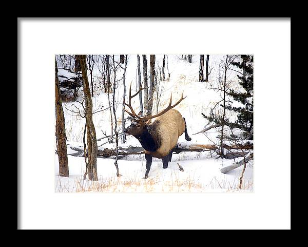 Elk Framed Print featuring the photograph On the Move by Mike Dawson