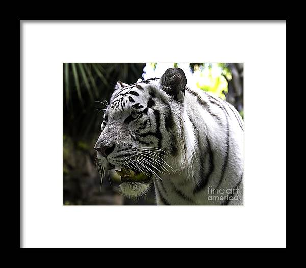 Tigers Framed Print featuring the photograph On The Prowl  by Ken Frischkorn